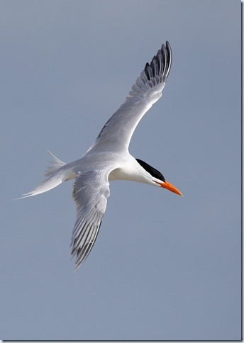 royal_tern5