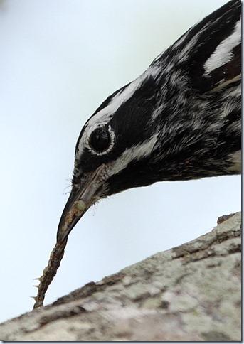 black&white_warbler_headshot