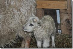 first lamb 2010 002