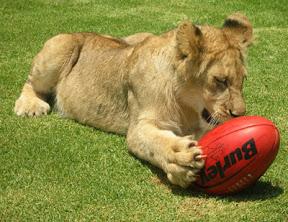 Lion Footy