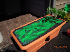 Growbox with nutrient patch / mulch sheet / 6 week old early girl tomato (pruned lowest branches and buried more stem)