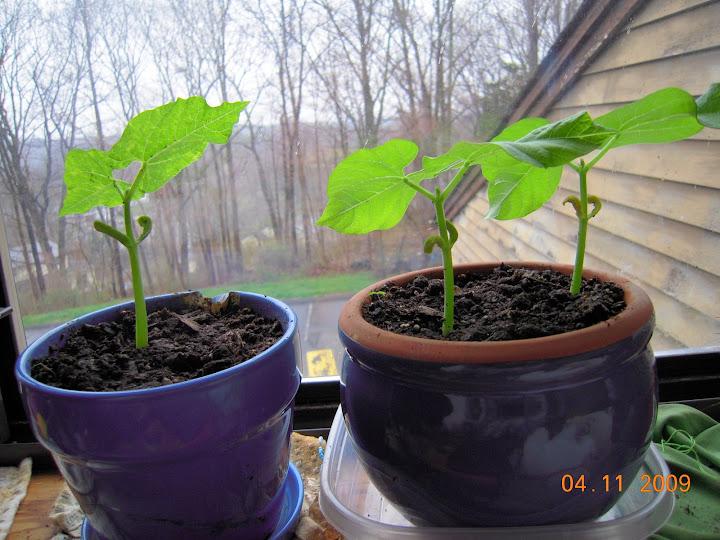 Indoor bush beans aerogardenmastery for Indoor gardening green beans