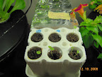 2 week coleus, 3 snapdragons. 1 week lemon balm and peppermint not sprouted yet.