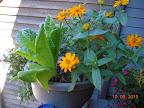 golden zinnias and a 10 week romaine
