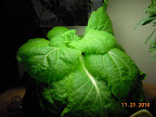 7 week chinese cabbage - ate shaded leaves