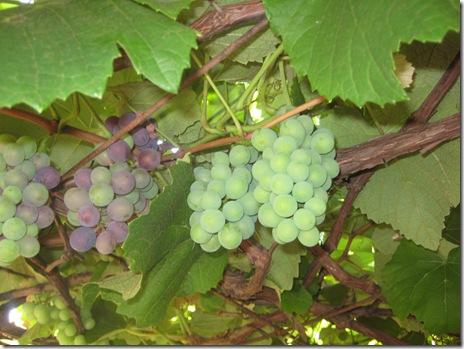 uvas 2010-11-28 003