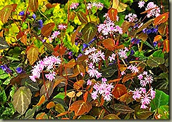 thalictrum_ichangense_evening_star__terranovanurseries_com