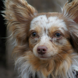 I Hear You by Susan Fries - Animals - Dogs Portraits ( closeup images, ears, dog, portrait, animal,  )