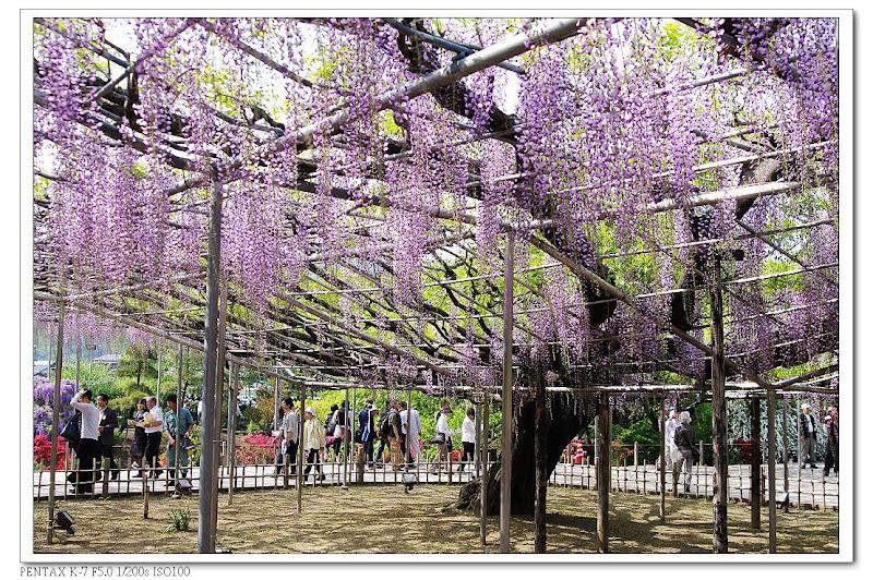 宛如紫色的雨絲~~藤花