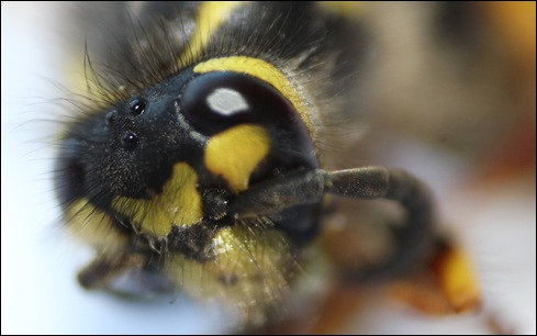 IMG_4509-wasp-close-up-eye