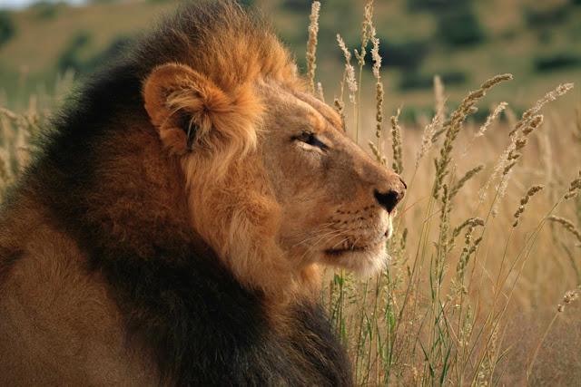(Lion),Wild Animals Wallpapers 1600×1067