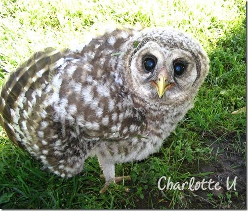 baby_owl2