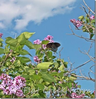 lilacs_butterfly2