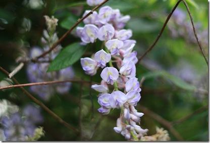 wisteria2