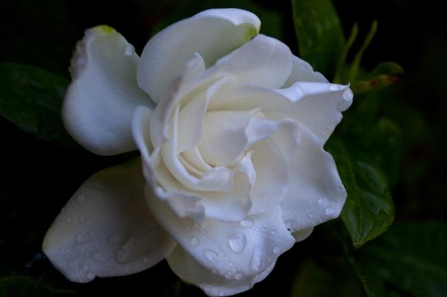 Gardenia-6