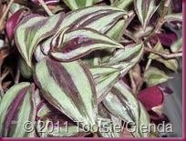 variegation