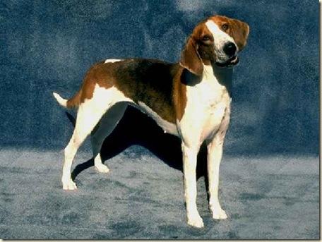 razas de perros 8