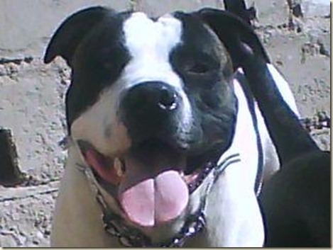 perros-pitbull-1287