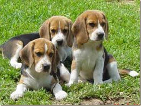 Adiestramiento de perros beagle87