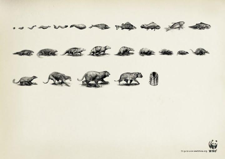 Evolución tigre