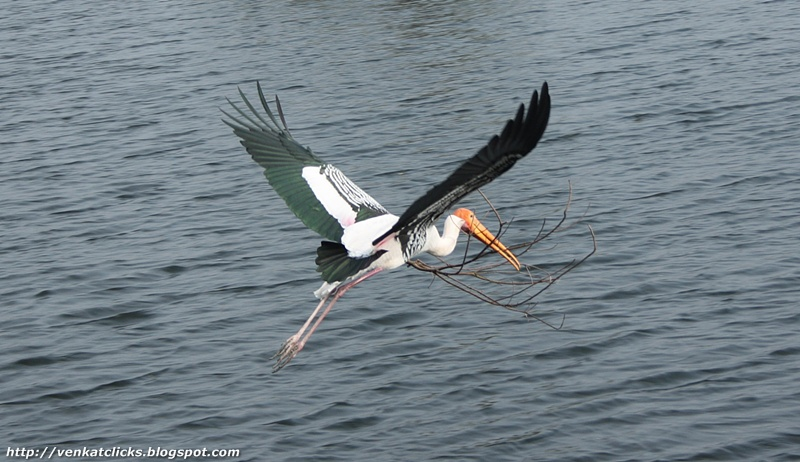 Painted Storks caught at Vedanthangal Bird Sanctuary, click to see more