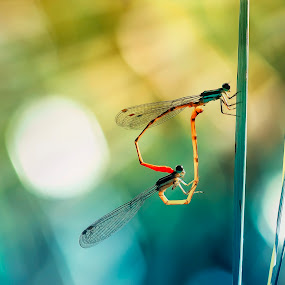 love story by Firmansyah Goma - Animals Insects & Spiders ( love, damselfly )