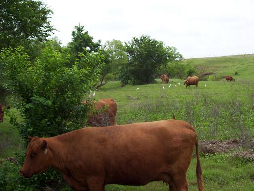 clip art logo beef cattle farming