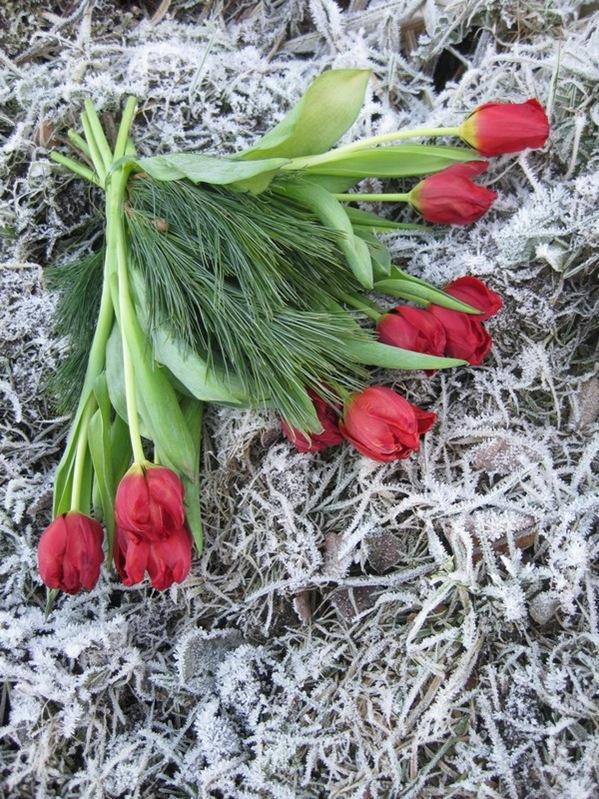 2008-12-26 Tulipaner på komposthaugen (2)