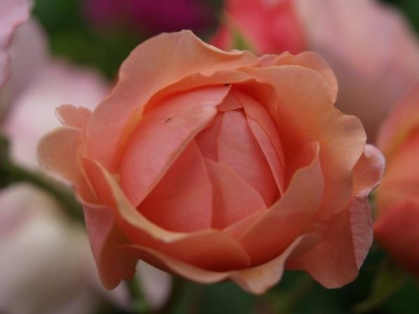 P7303882 Rosa 'Leander'
