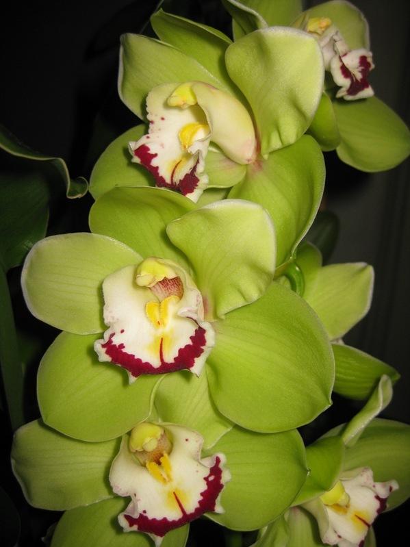 2009-02-01 Orkideer (11)