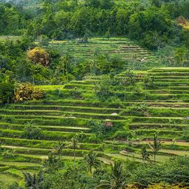 Rice Terrace by Myint Thu - Landscapes Prairies, Meadows & Fields