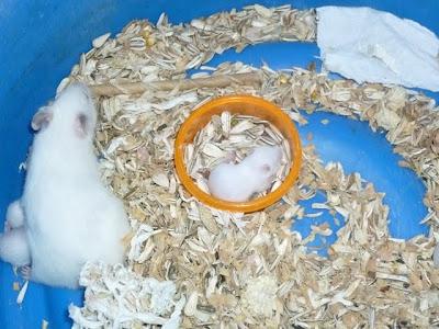 Hamster Nyenius Net