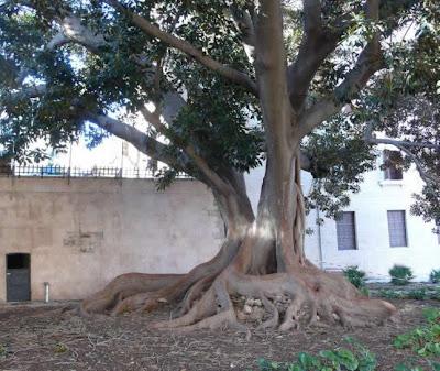 Ficus de la Misericordia