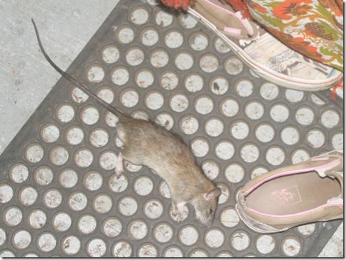 rat_cropped