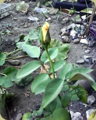 Blooming Yellow Rose1