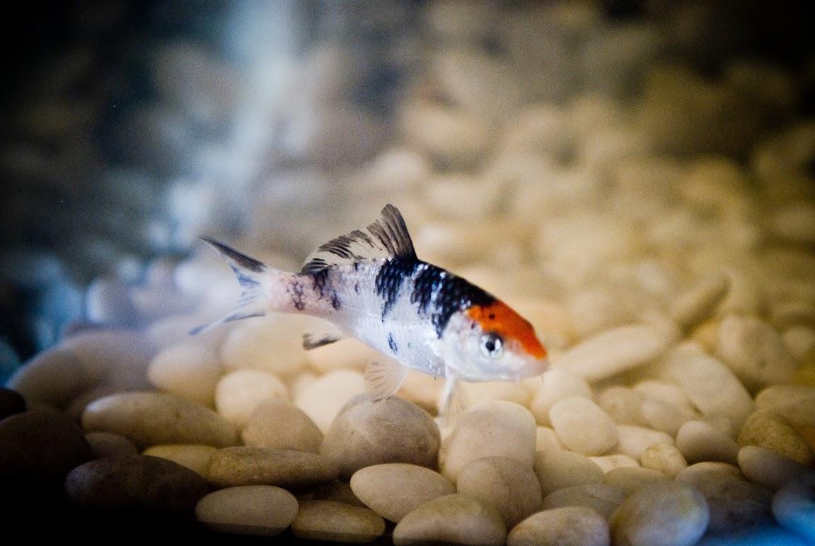 Jeffwongdesign my mini koi aquarium for Koi aquarium
