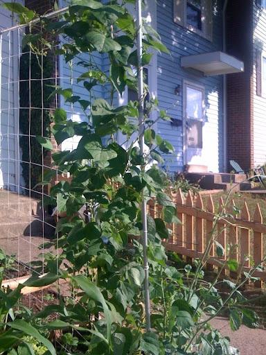 Pole Beans and Sugar Snap Peas Photo%204-746764