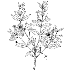Myrtus communis L. (Myrtaceae) Myrtle