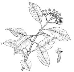 Syzygium aromaticum (L.) Merr. and L. M. Perry (Myrtaceae) Clavos, Clove, Clovetree