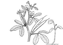 Trigonella foenum-graecum L. (Fabaceae) Fenugreek, Greek Clover, Greek Hay