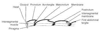 Secondary segmentation. Diagram of sagittal section of dorsal sclerites of thorax.