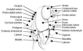 Generalized view of an insect head.