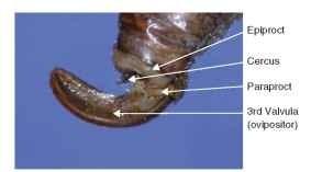 Appendicular ovipositor (Orthoptera: Tettigoniidae).