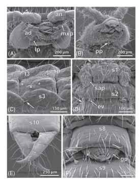 Morphological characteristics of the Diplura, exemplified by Metajapyx sp. (Japygidae: A, C, E) and Campodea sp.