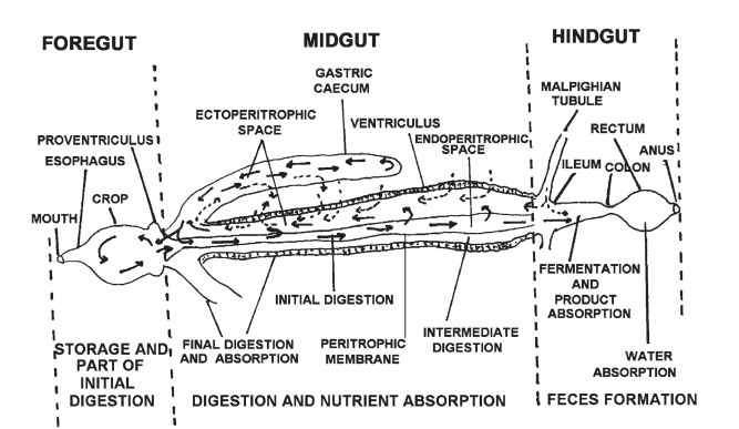 Generalized diagram of the insect gut.