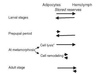 Exchange of stored reserves between fat body cells and hemolymph during the life cycle of holometabolous insects. Asterisk indicates that later, as stem cells are differentiated into adult fat body cells, a buildup of reserves occurs.