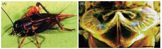 The prothoracic tympanal ear of a parasitoid tachinid fly, Ormia ochracea (Tachinidae). (A) A female fly resting on its host (Gryllus integer); (B) a light micrograph of the prosternal ear in a female. The outline of the tympanal membrane is indicated with arrows.