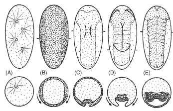 Diagram of the basic pattern of early insect embryo-genesis: ventral views of eggs, anterior poles at top, are shown above cross sections at the levels indicated by bars in top row. (A) Syncytial cleavage. (B) Formation of the cellular blastoderm: arrows show that the lateral cells are coalescing toward the ventral surface to form the germ anlage. (C) Gastrulation. The prospective mesoderm begins invagination along the midline of the germ anlage. (D) Germ band after gastrulation, with segment borders (dotted) and amniotic folds forming: arrows indicate the movement of the serosal cells to enclose and cover the developing germ band. (E) Advanced germ band stage, with appendage buds, and transient coelomic sacs formed by the mesoderm.