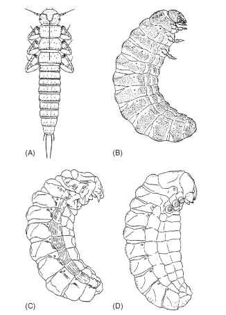 Larvae of Meloe dianellus (Coleoptera: Meloidae) illustrating the four types of meloid larvae: (A) first instar (planidium with legs), (B) first grub (fifth instar), (C) coarctate (sixth instar), and (D) second grub (seventh instar). Natural lengths: (A) 2 mm, (B-D) 7-10mm. [From Pinto, J., and Selander, R. (1970).