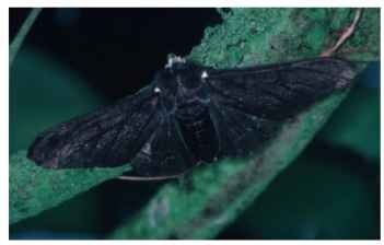 The carbonaria form of the peppered moth